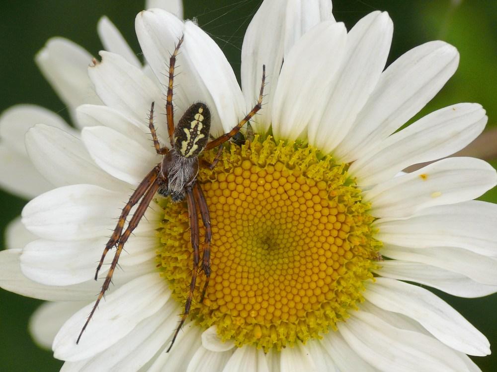 Eichblatt-Radspinne (Männchen)