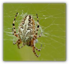 Eichblatt Spinne