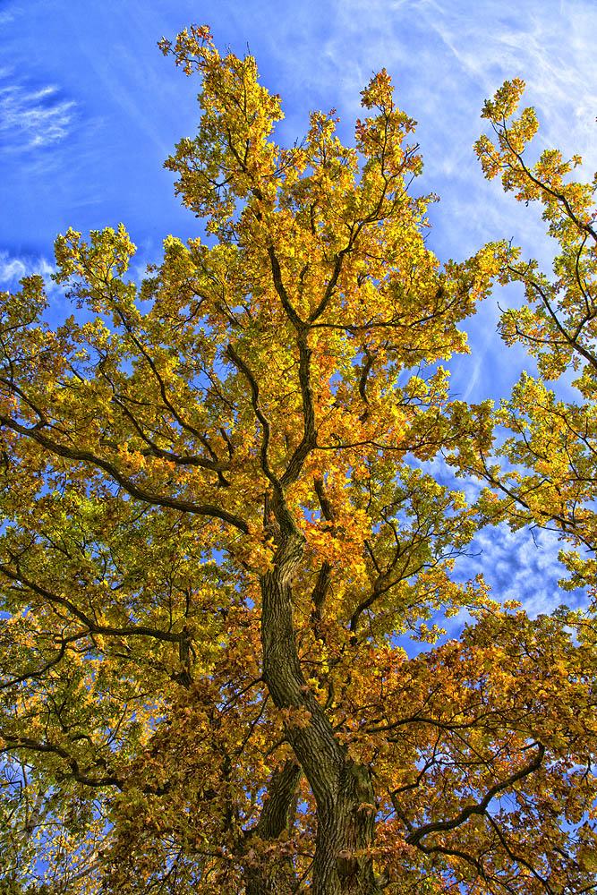 Eiche im Herbst.....