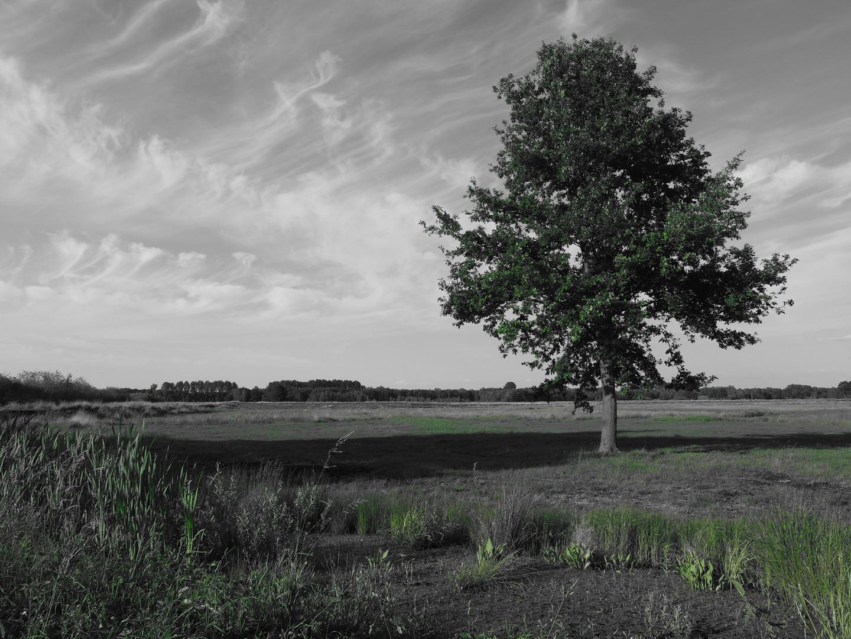 Eiche im Moor