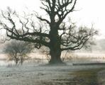 Eiche im Nebel