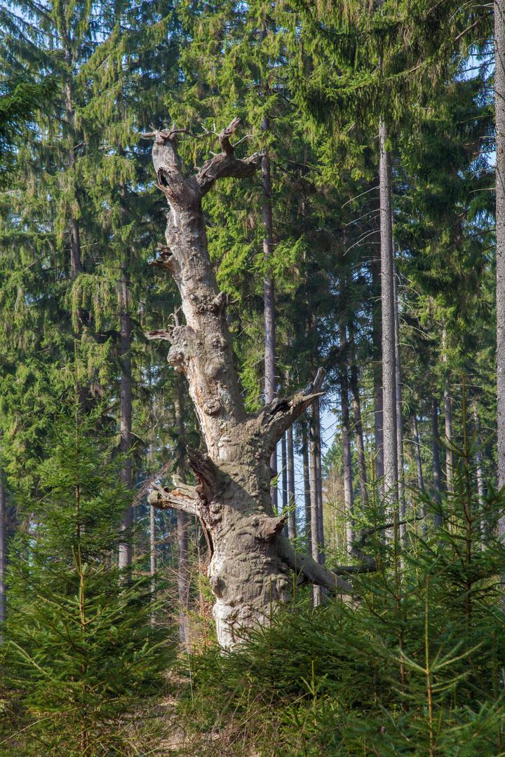 Eiche im Reinhardswald