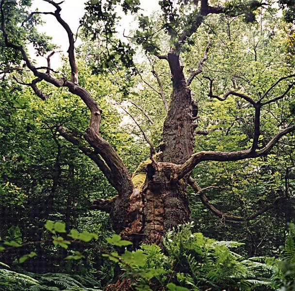 Eiche im Urwald auf der Insel Vilm