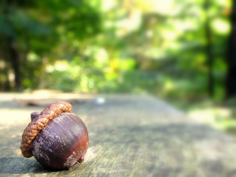 Eichel im Walde