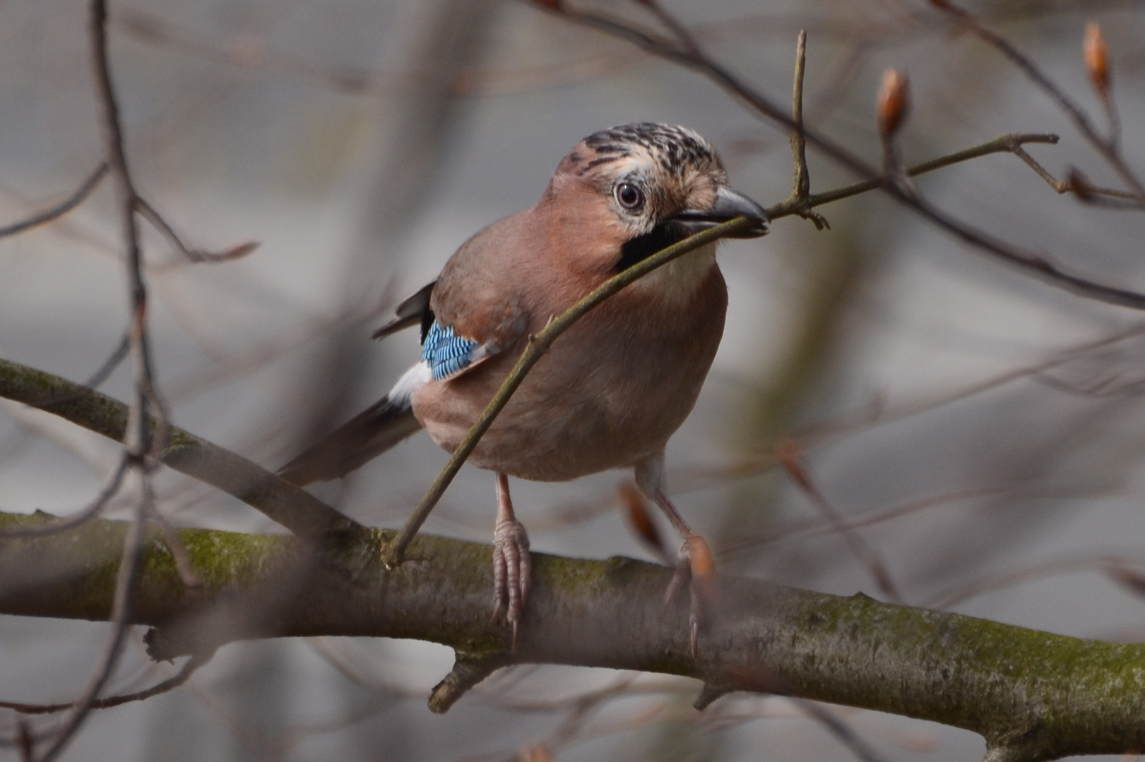 Eichelhäher beim Nestbau