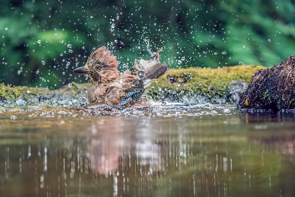 Eichelhäher im Wasser