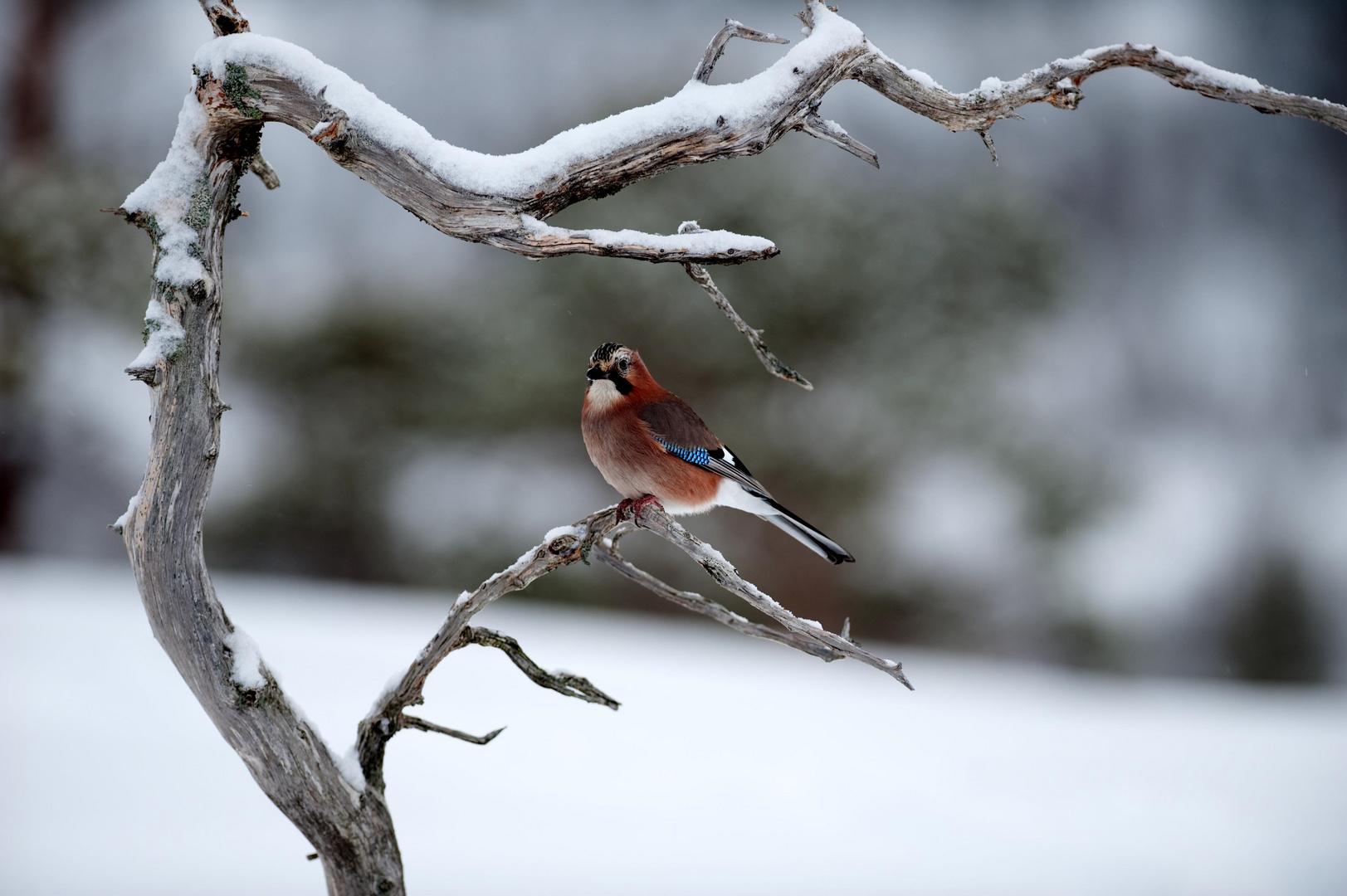 Eichelhäher im Winter