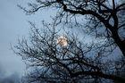 Eichen vor dem Mond