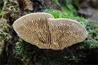 Eichen-Wirrling (Daedalea quercina)