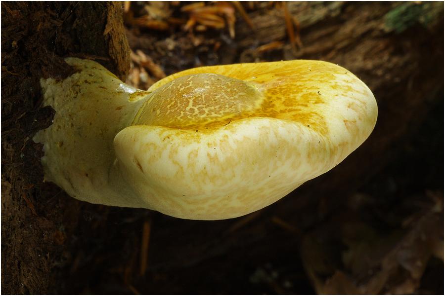 Eichen-Zungenporling (Piptoporus quercinus)