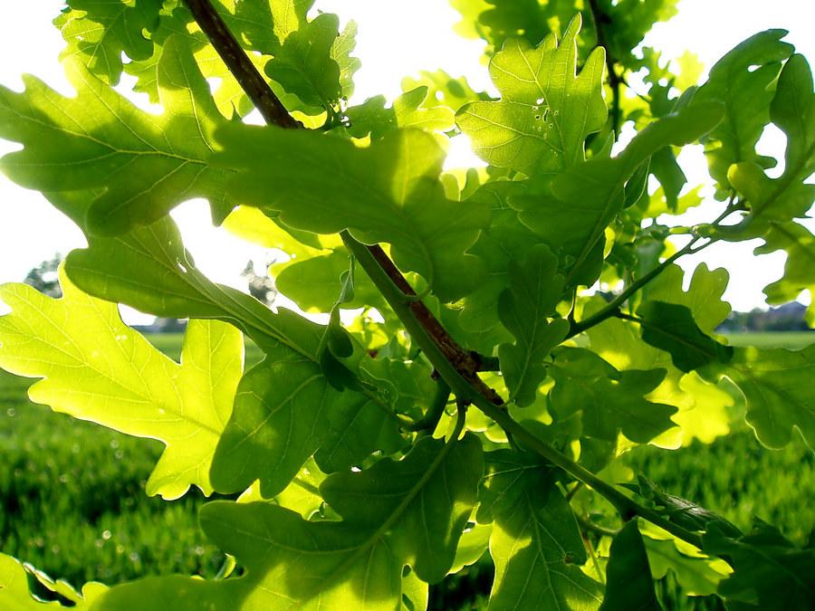 Eichengrün im Mai