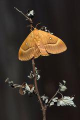 Eichenspinner - Weibchen