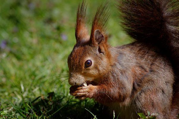 Eichhlörnchen