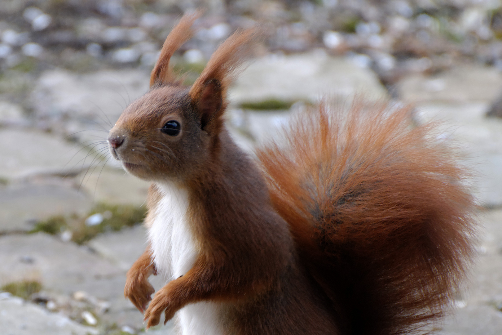 Eichhörnchem im Winter