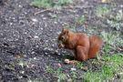 Eichhörnchen 1 von Thomas Leib