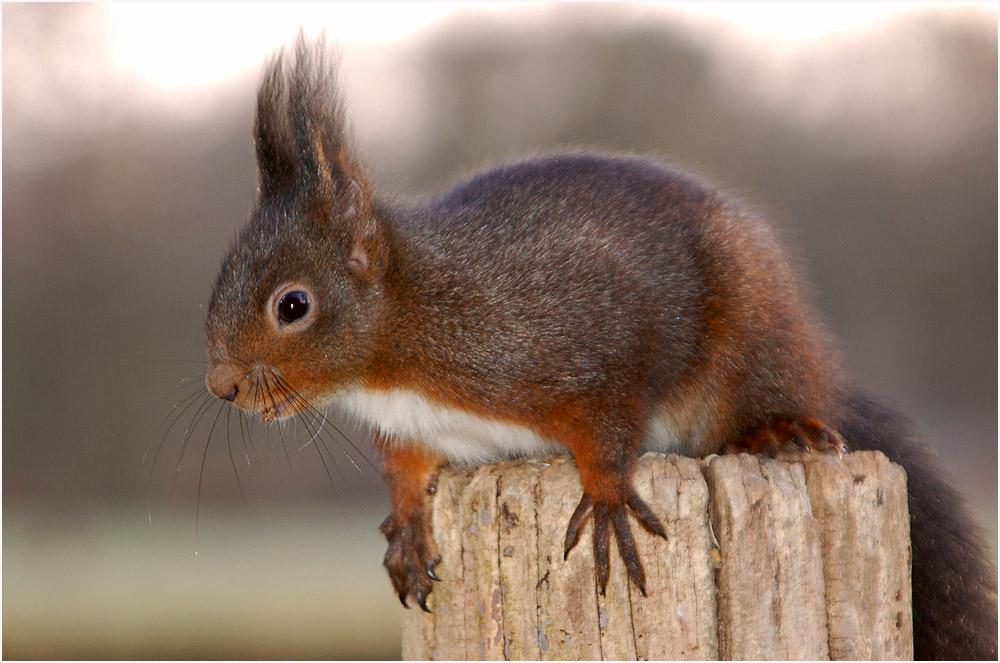 Eichhörnchen ...2