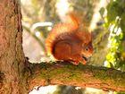 Eichhörnchen 2