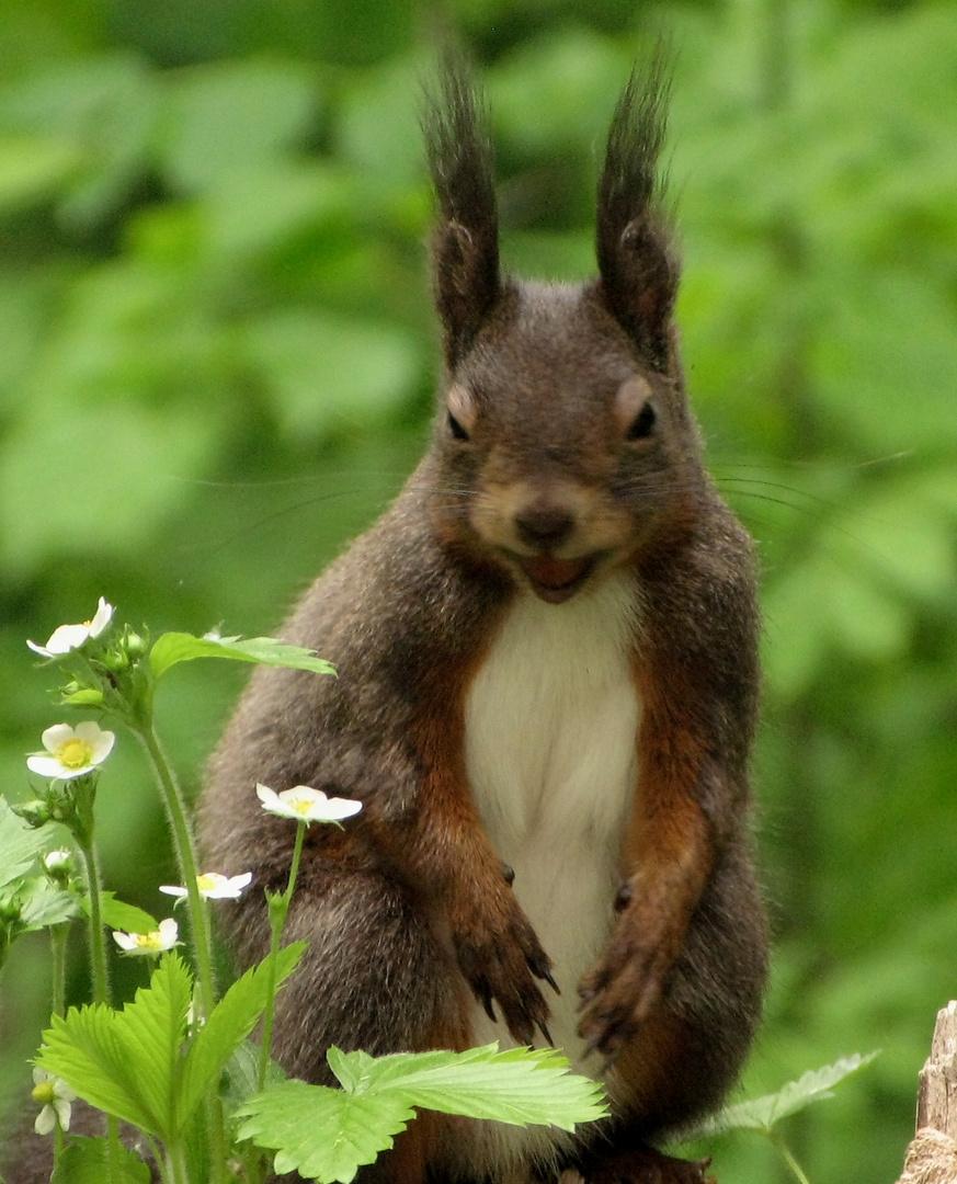 Eichhörnchen (2)