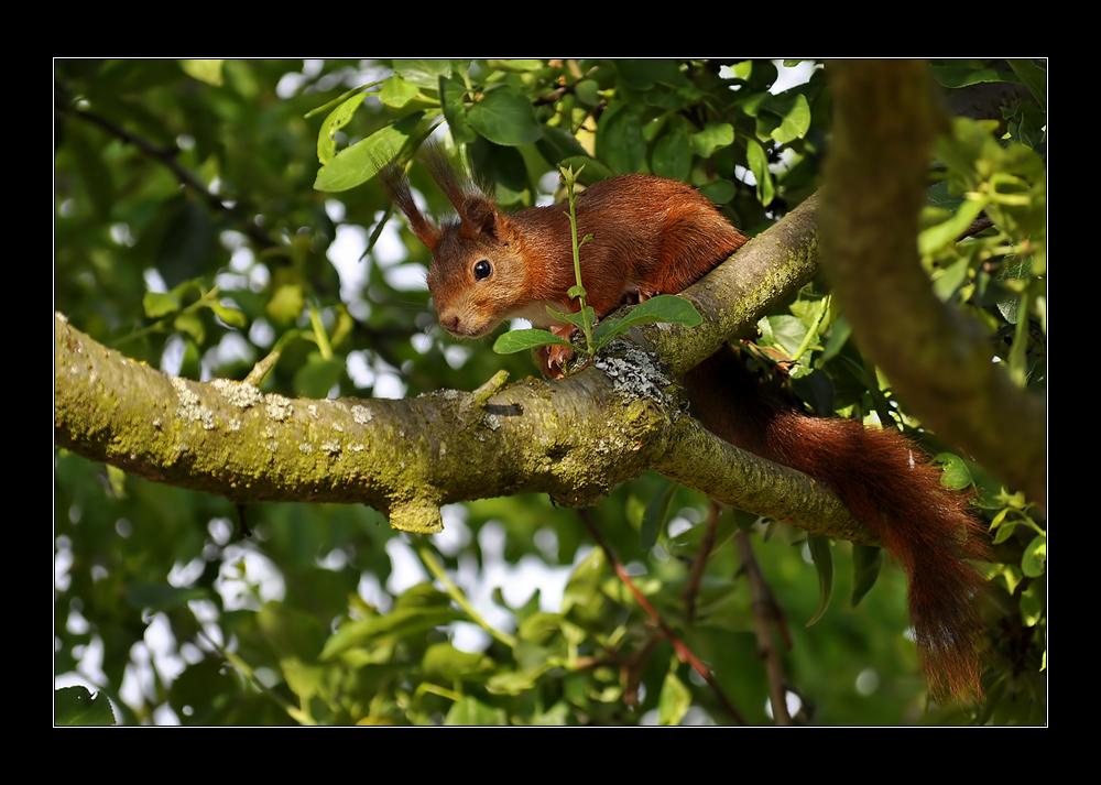 Eichhörnchen #4