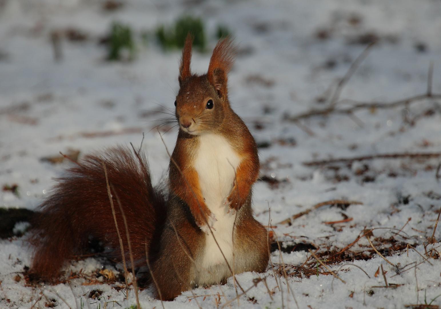 Eichhörnchen 9.2.2013