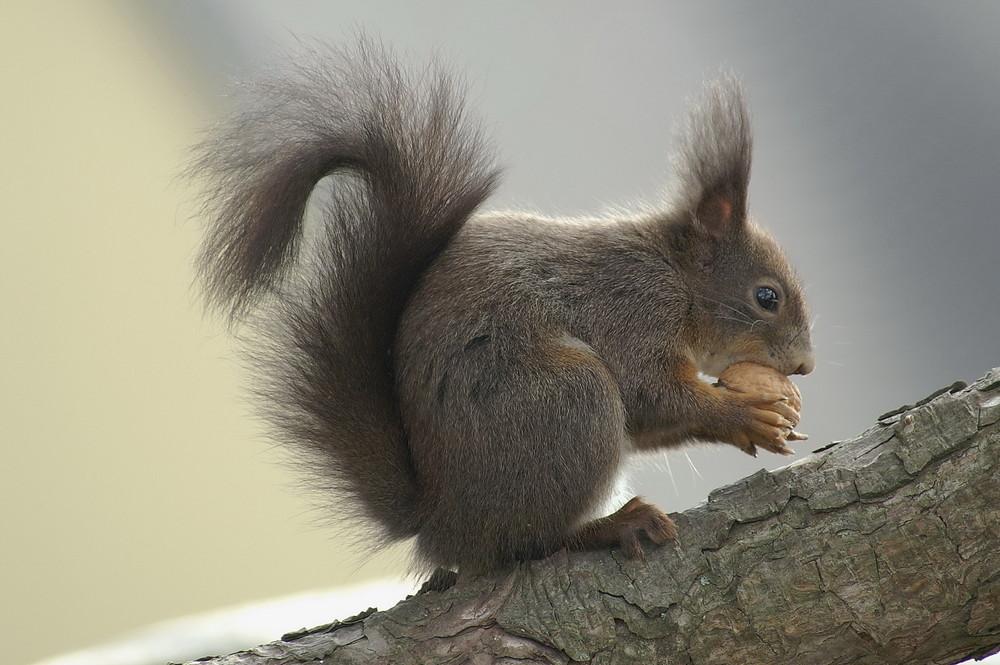 Eichhörnchen Alfred