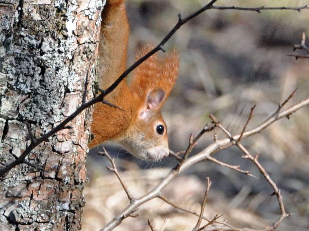 Eichhörnchen am Spieß