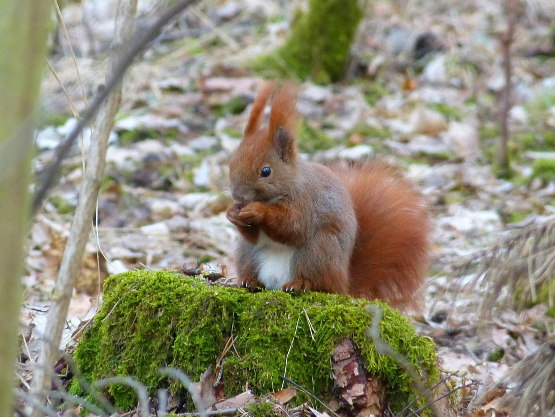 Eichhörnchen am Waldesrand