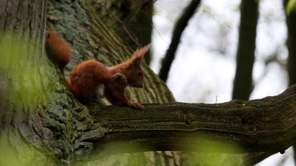 Eichhörnchen an kratzen
