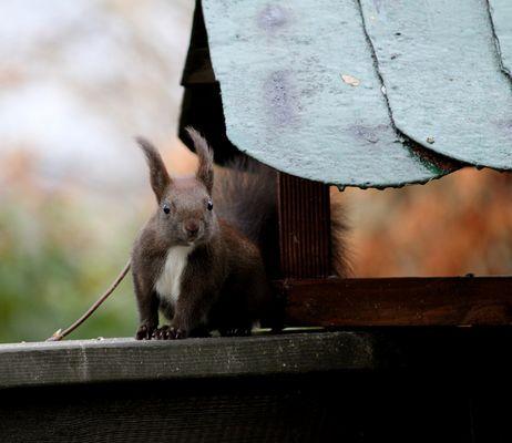 Eichhörnchen auf Abwegen...