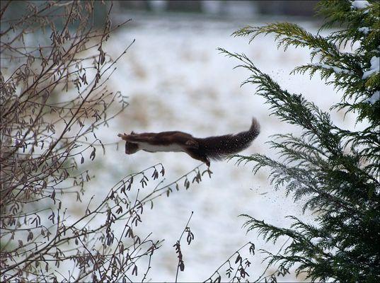 Eichhörnchen auf dem Sprung