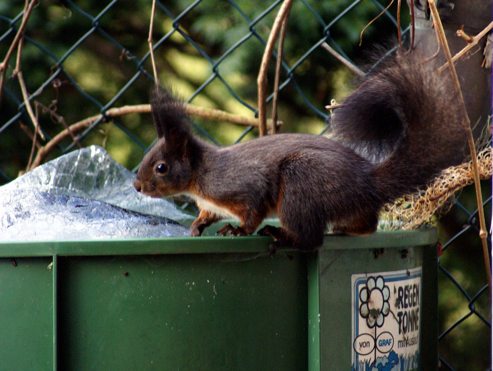 Eichhörnchen auf der Regentonne