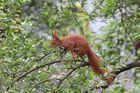 Eichhörnchen auf der Suche 1