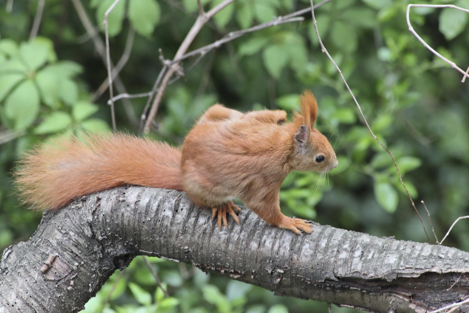 Eichhörnchen auf der Suche 2