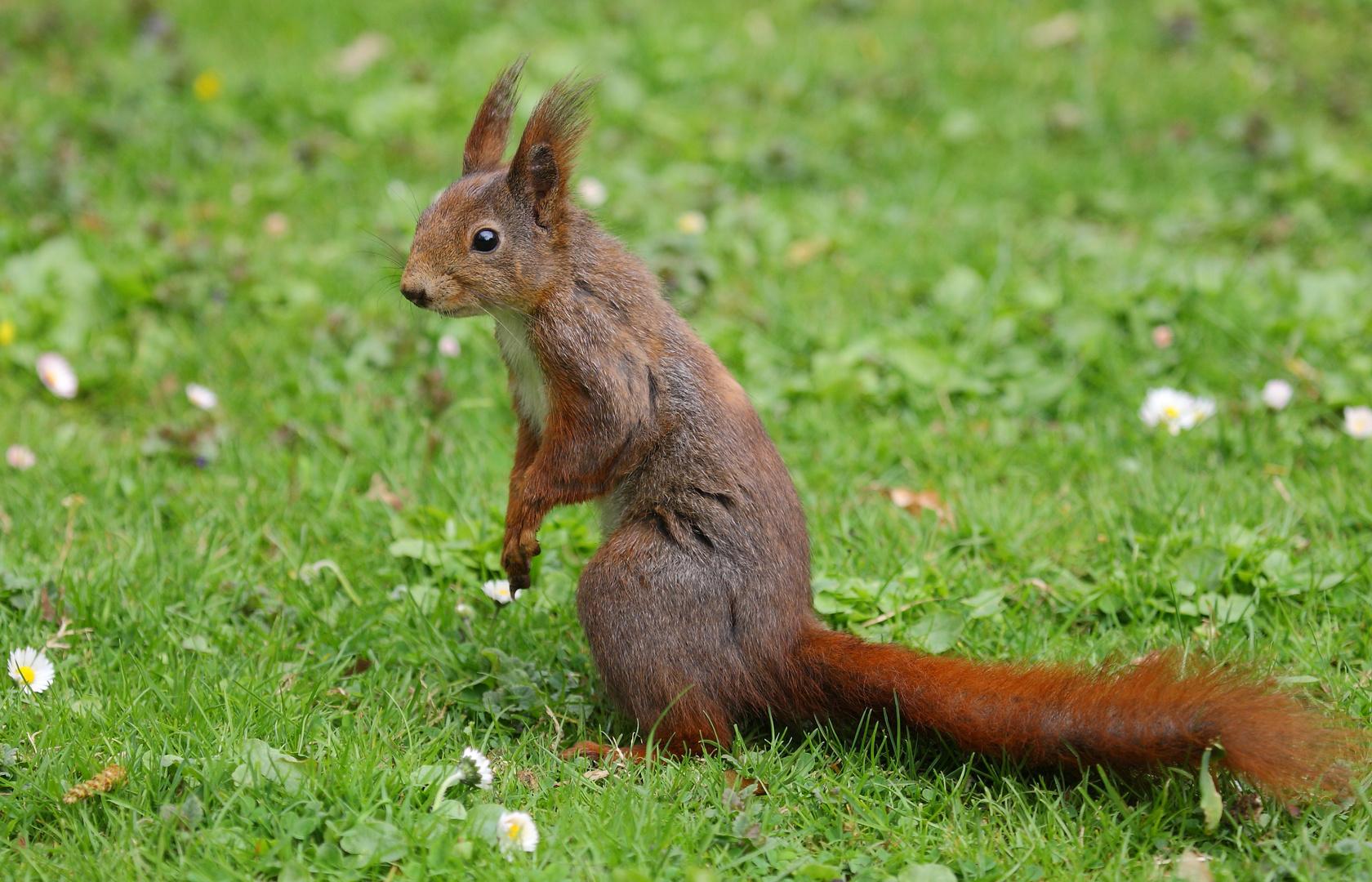 Eichhörnchen auf einer Wiese