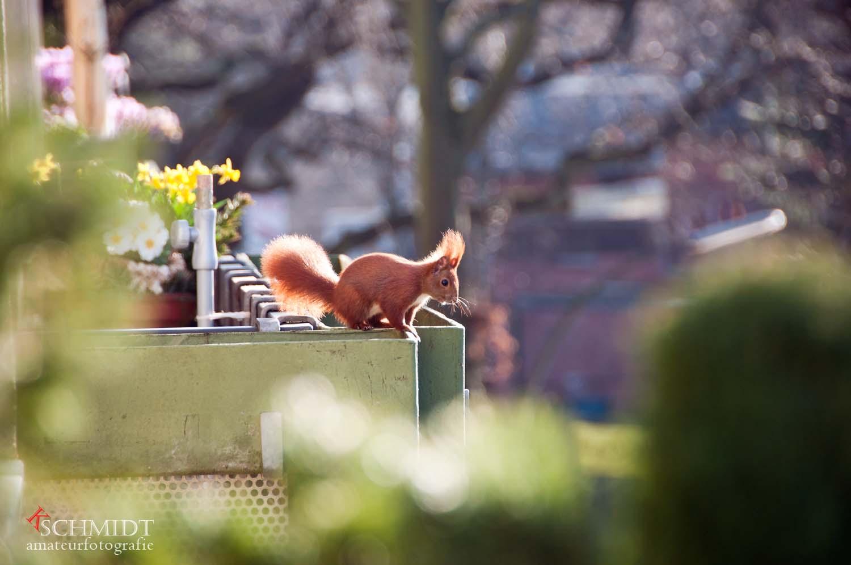 Eichhörnchen auf Nachbars Balkon