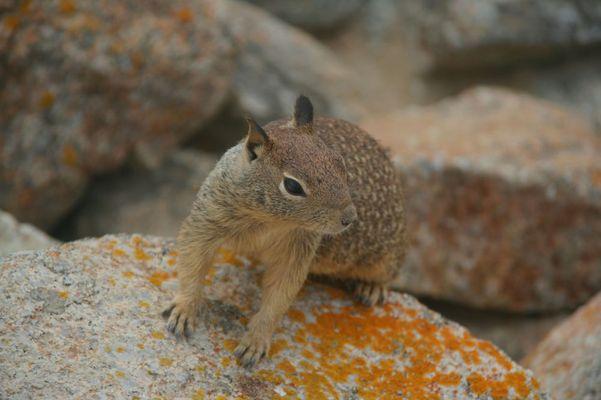 Eichhörnchen auf Stein