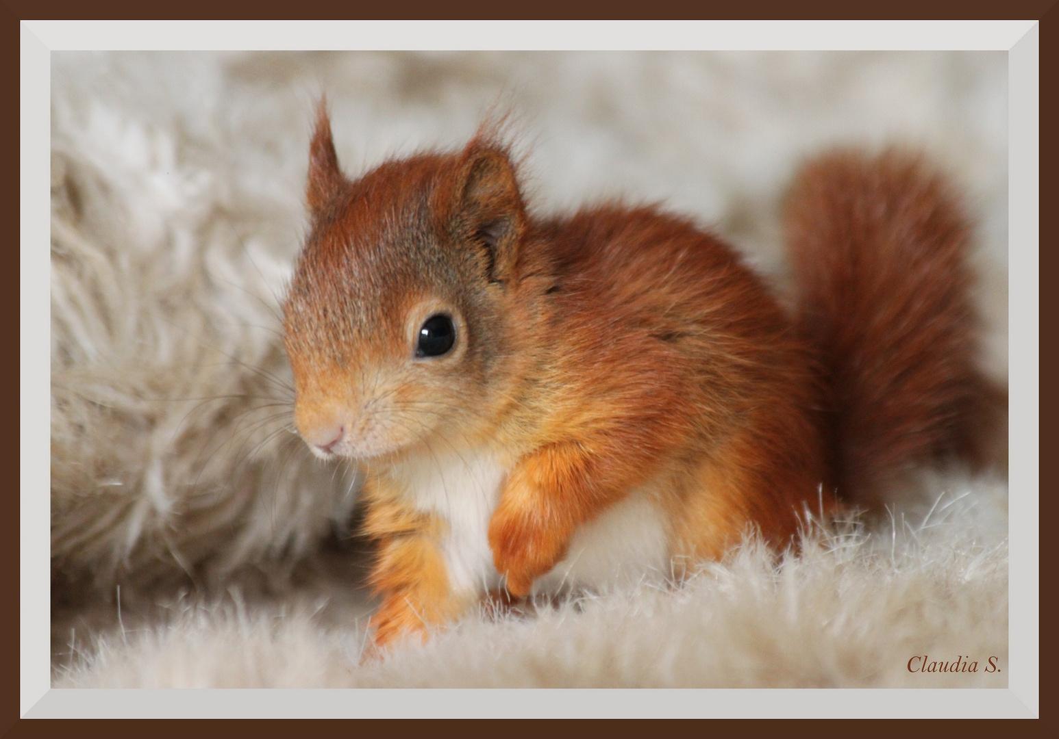 eichh rnchen baby red squirrel foto bild tiere. Black Bedroom Furniture Sets. Home Design Ideas