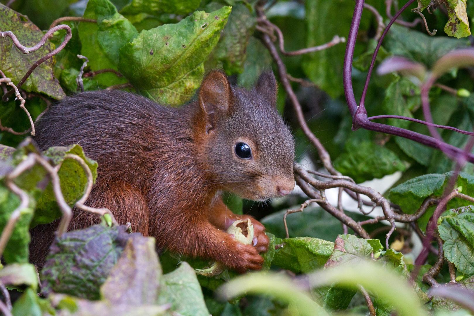 Eichhörnchen bei der Nahrungssuche