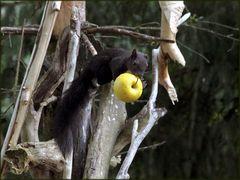 Eichhörnchen beim Apfel-Klauen
