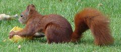 Eichhörnchen beim Apfelfressen