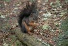 Eichhörnchen beim Essen