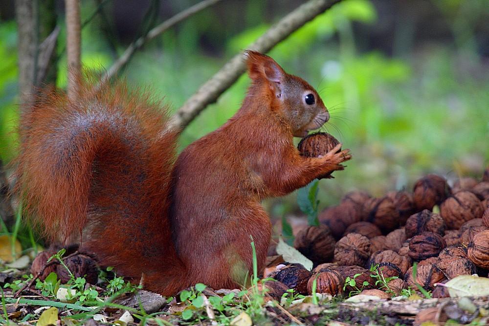 """eichhörnchen beim """"hamstern"""" foto  bild  tiere zoo"""