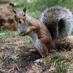 eichhörnchen ..