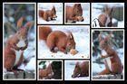Eichhörnchen-Collage