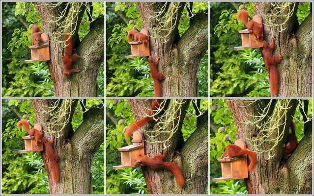 Eichhörnchen-dating