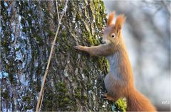 Eichhörnchen die dritte