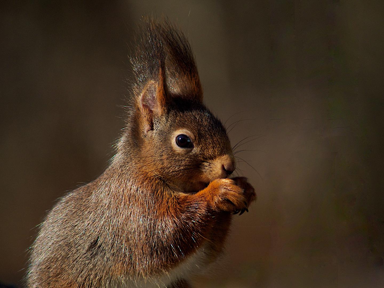 Eichhörnchen - ein erster Besuch nach den frostigen Tagen