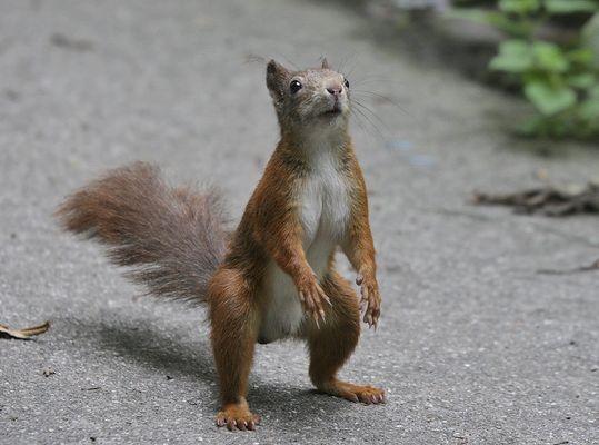 """Eichhörnchen """"erectus Hofgartenensis"""""""