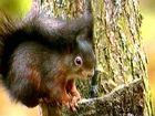 Eichhörnchen;