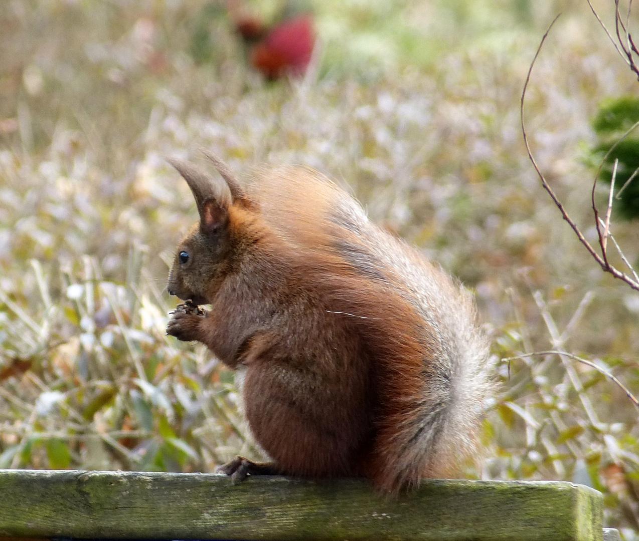 Eichhörnchen - Frühstück mit Ostwind :)